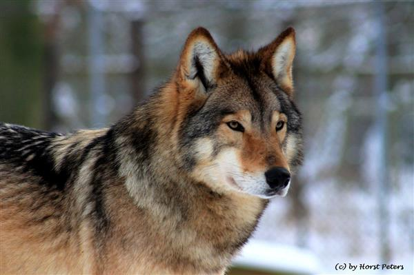 Photo of an Eastern Timber Wolf